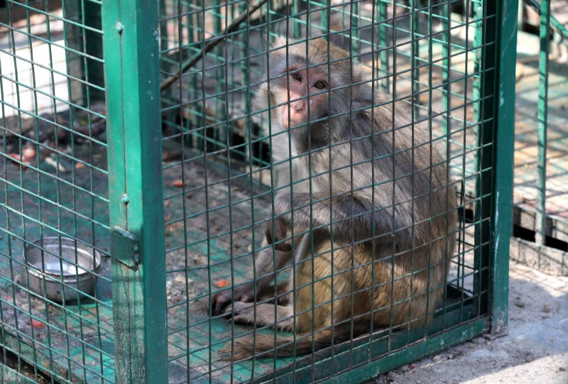 印度一隻酗酒成性的「殺人猴」卡魯阿(Kalua),經管束3年後依舊有暴力傾向,動物園已決定將牠終身單獨囚禁。(示意圖,歐新社)