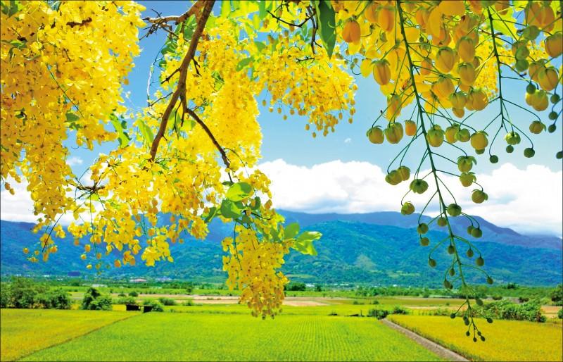花蓮193線公路,在玉里鎮包括東豐段的阿勃勒、馬太林至松浦段的鳳凰花,目前都正值花季。 (圖文︰記者花孟璟)