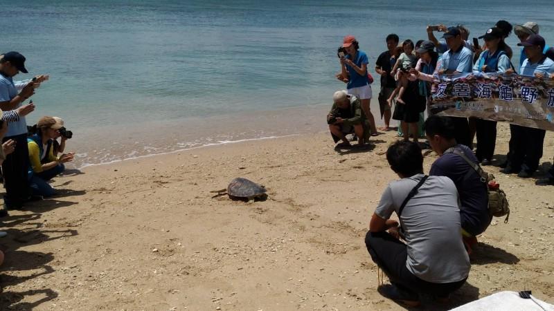 海保署也在後壁湖保育沙灘舉辦海龜野放活動。(記者蔡宗憲翻攝)