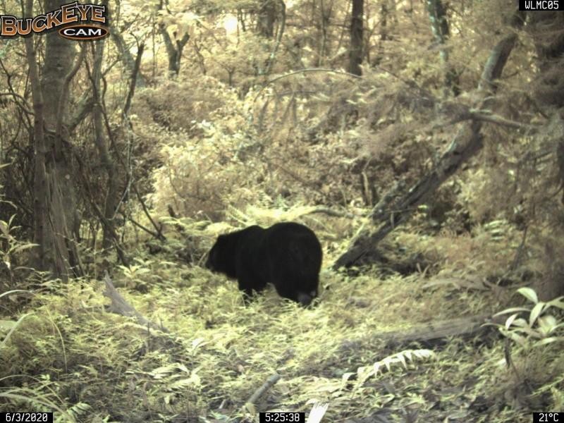 林務局架設自動相機拍到台灣黑熊出沒,特別提醒遊客如在瓦拉米步道遇到熊,千萬不要驚擾、應儘速離開,不要逗留拍照打卡,以免干擾野生動物。(林務局花蓮林區管理處提供)