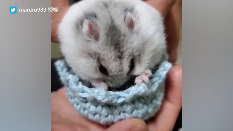 飼主針織的合身毛線窩倉鼠Ku很滿意,甚至不願意離開。(圖片由Twitter帳號maruro989授權提供使用)