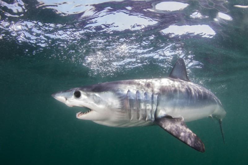 美國一名少年日前遭一條鯊魚攻擊,他在被咬傷後努力試圖脫困,最後在家人協助下順利逃脫,但腿上則留下多達40處傷口。圖為示意圖。(美聯社
