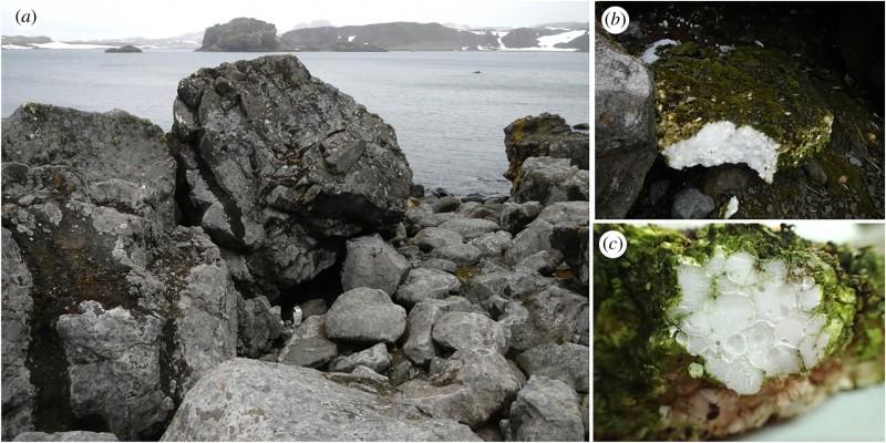 左圖為喬治國王島發現南極隱孢子蟲的地方,右邊2張圖為南極隱孢子蟲附著的保麗龍。(圖取自The Royal Society網站)