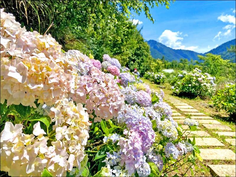 武陵農場上萬朵繡球花大爆發,現在上山避暑賞花正是時候。(記者歐素美翻攝)