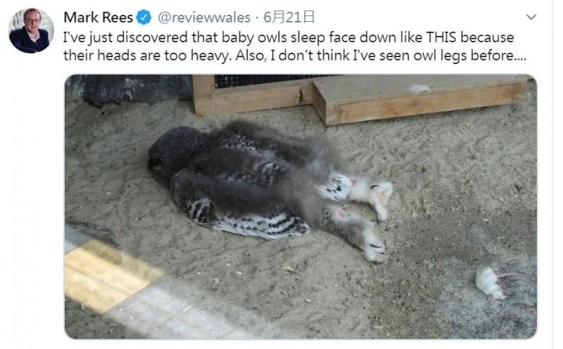 網友在網路上分享貓頭鷹寶寶直接趴地休息的照片,超萌睡姿讓許多人笑說像是「喝醉酒的大叔」,但有專家透露,貓頭鷹寶寶會趴著睡覺,是因為牠們無法承受住頭部的重量。(圖擷取自推特)