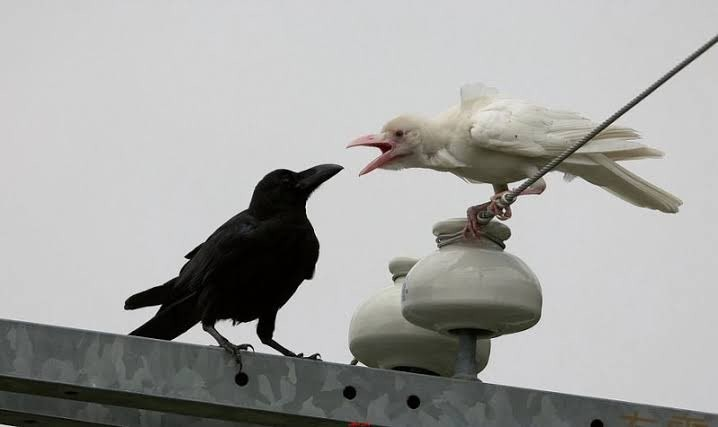 上傳照片的日本網友表示,白色烏鴉外型彷彿「墮天使」。(擷取自推特)
