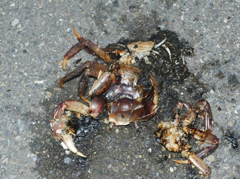台江國家公園青草崙海岸日前被發現有12隻的抱卵母蟹被路殺,數以千萬計的陸蟹寶寶跟著一起命喪輪下。(記者蔡文居翻攝)