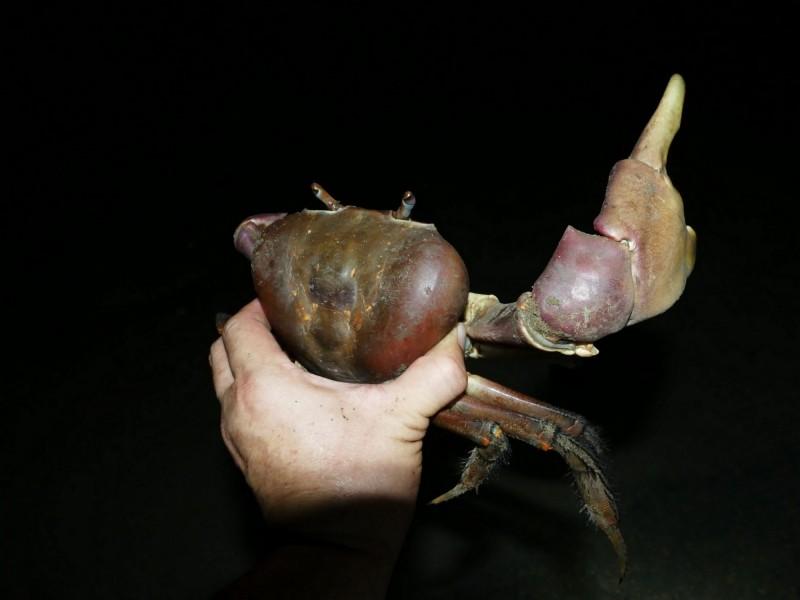 這隻凶狠圓軸蟹的頭胸甲寬長達十二公分,要長成這麼大的體型得要數十年之久。(記者蔡文居翻攝)