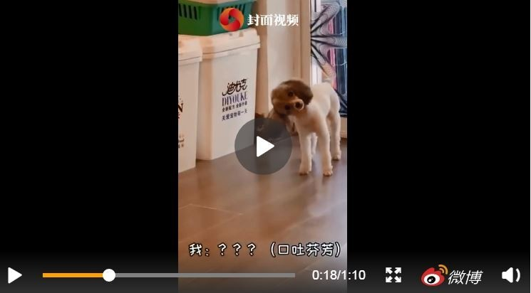 不過僅限有人、狗來家裡玩的時候,才會秒變歪頭。(圖擷取自微博)