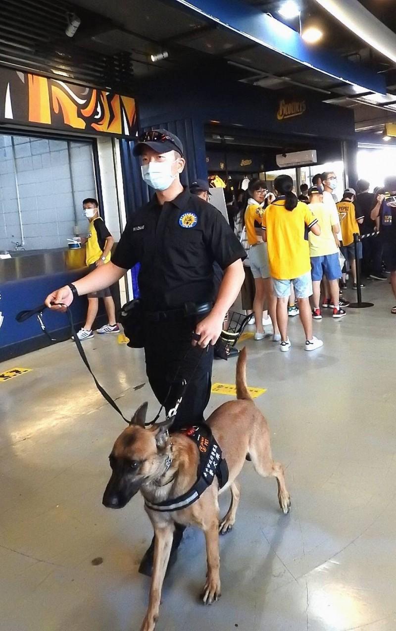 中市警犬隊大學長「忍者」帥氣現場洲際棒球場。(記者許國楨翻攝)