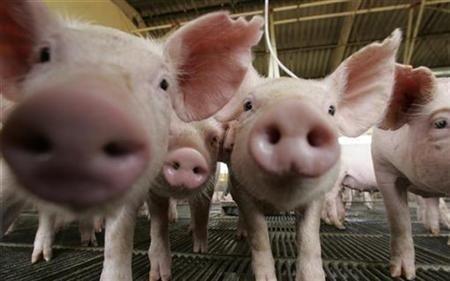 中國爆新型豬流感 農委會將啟動比對國內H1N1病毒株