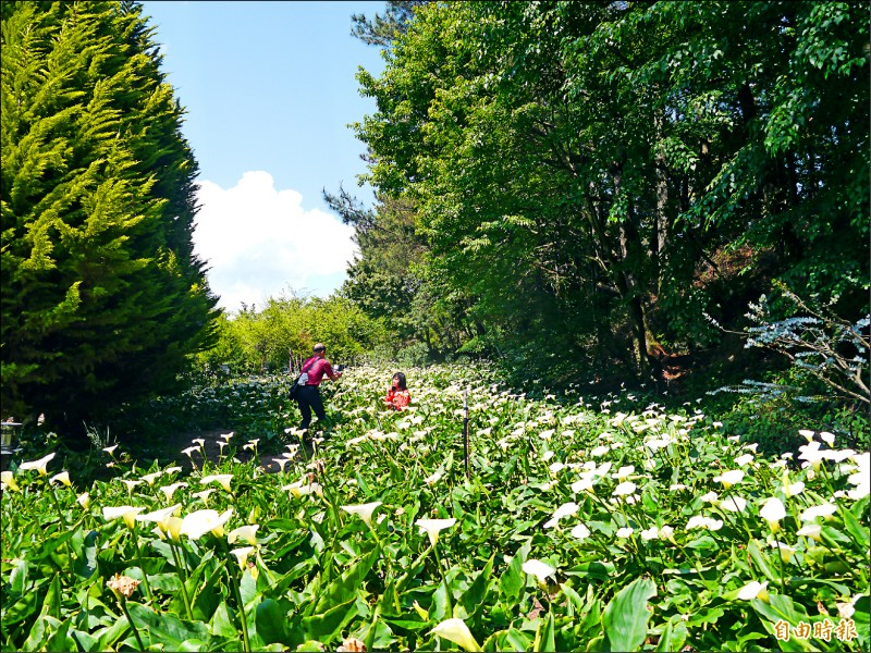 福壽山農場白色海芋花海吸引遊客拍照。(記者張軒哲攝)