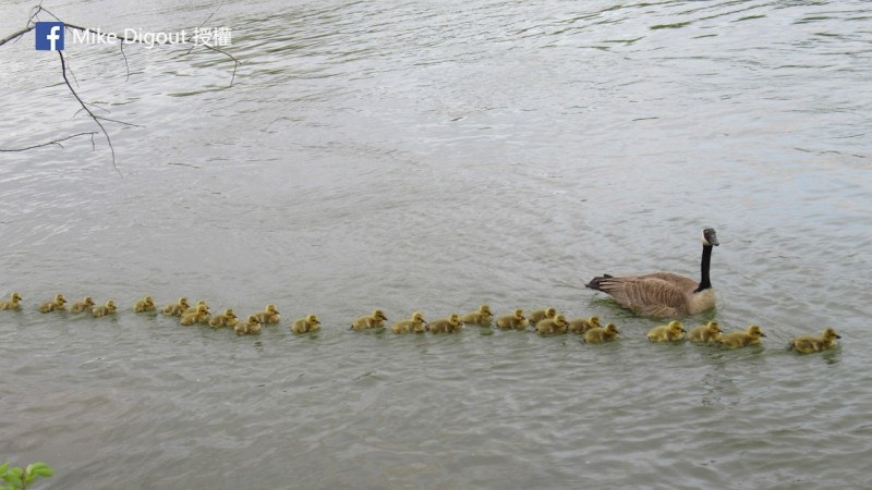 這隻加拿大雁照顧的幼雁數量龐大,看起來相當壯觀。(圖片由Facebook帳號Mike Digout授權提供使用)