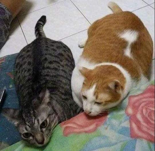 這2隻的體態不輸橘貓。(圖擷自爆笑2公社)