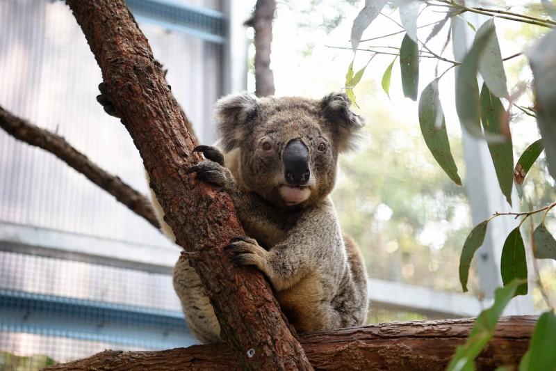 澳洲大火加劇破壞無尾熊棲地,若新州政府不採取新政策,新州野生無尾熊將在2050年滅絕。(歐新社)