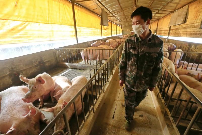科學家在中國豬隻上發現新品種流感病毒。示意圖。(歐新社)