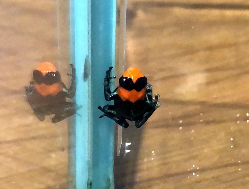 台北市立動物園首次成功繁殖「火焰箭毒蛙」,外觀亮麗頗有塑膠感。(台北市立動物園提供)