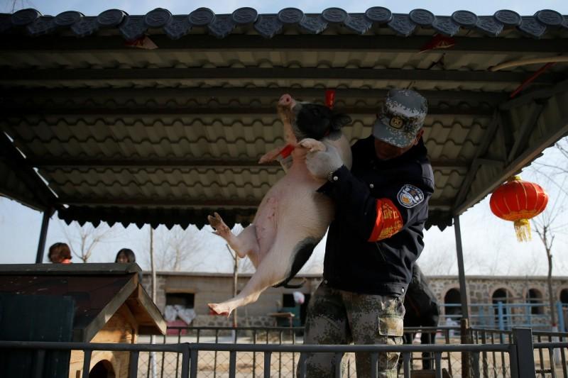 中國專家認為,此次發現的新品種豬流感病毒,有可能引發全球大流行。示意圖。(路透檔案照)