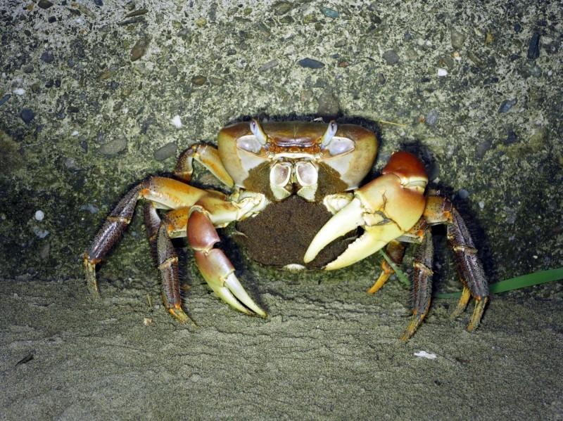 目前正值兇狠圓軸蟹的繁殖期,抱卵母蟹為了傳宗接代,於夜間集體降海釋幼,而引來有心人士非法獵捕。(記者蔡文居翻攝)