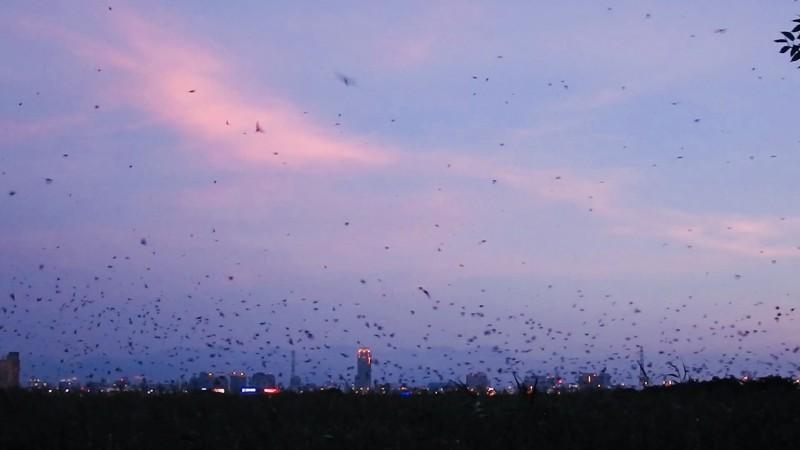 五股溼地數大之美  數以萬計燕群穿梭而來 - 生活 - 自由時報電子報