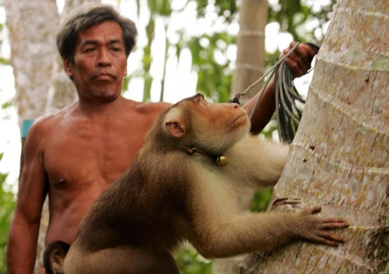 善待動物組織(PETA)調查發現,泰國猴子每日須摘取多達1000顆椰子,並被關在狹小的牢籠中,導致許多猴子精神失常。(路透資料照)