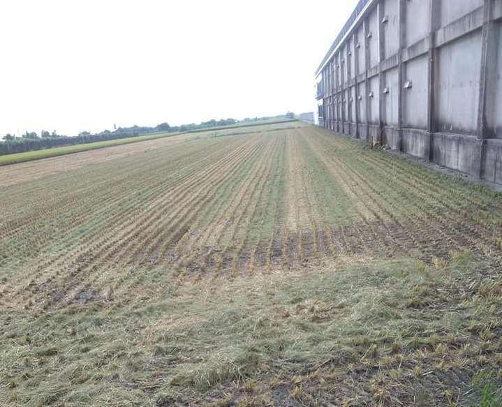 施姓農民表示4分8地大的稻田被盜割。(記者陳冠備翻攝)