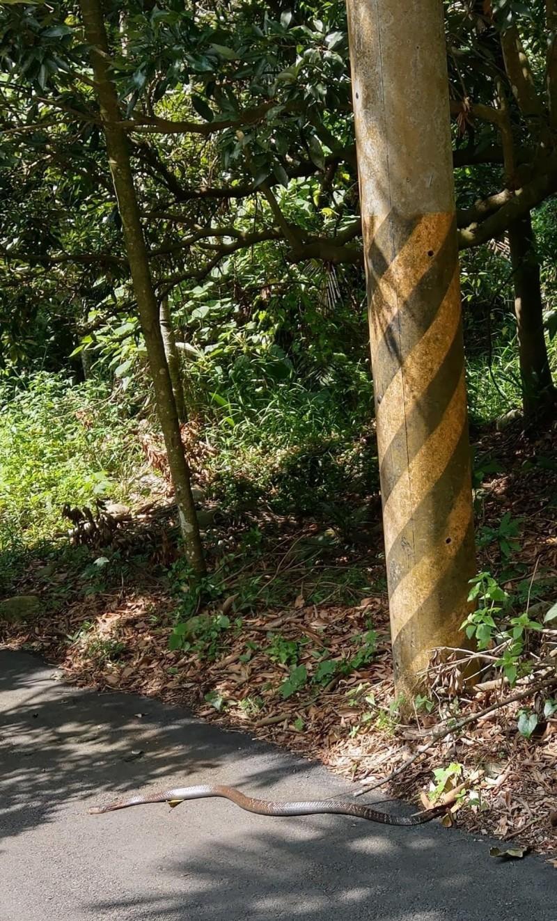 楊傳峰老師和兒子楊問,在九九峰下看到眼鏡蛇過馬路,父子決定讓小龍先行。(楊傳峰提供)
