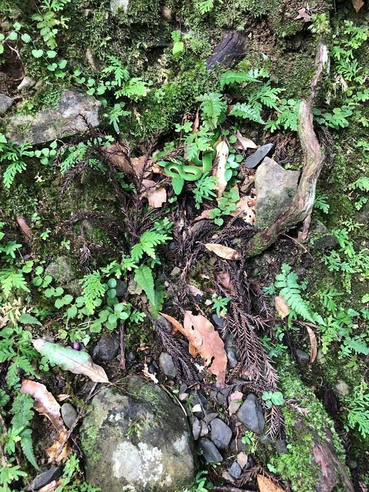 照片中可見,地面上雜草、青苔等覆蓋著石頭,但仔細一瞧,有一尾赤尾青竹絲盤踞在畫面中,顏色與一旁草叢極為相似,沒仔細看根本難以察覺。(徐震宇授權提供)