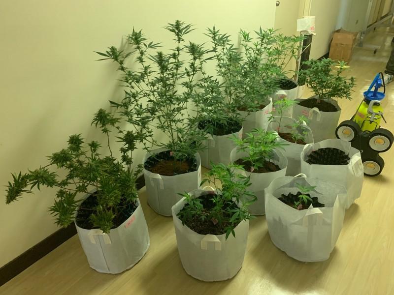 警方查扣大麻活株15株。(記者許國楨翻攝)