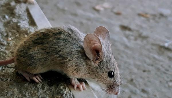 中國內蒙古爆發鼠疫確診案例,圖為老鼠示意圖。(法新社)