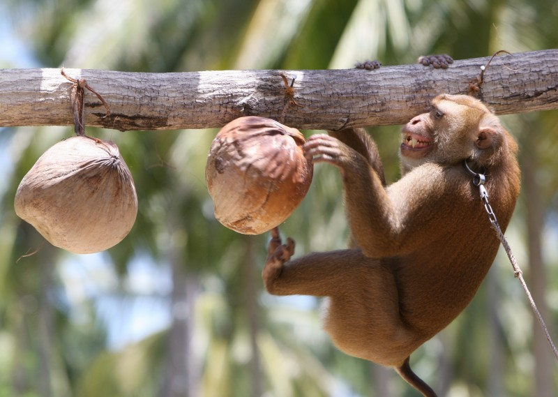 美國動物保護團體PETA日前指控泰國的猴子被嚴重剝削用於農務、爬樹摘椰子。泰國要政發文表達抗議,認為PETA的指控是建立在種族歧視下的雙重標準。(歐新社)