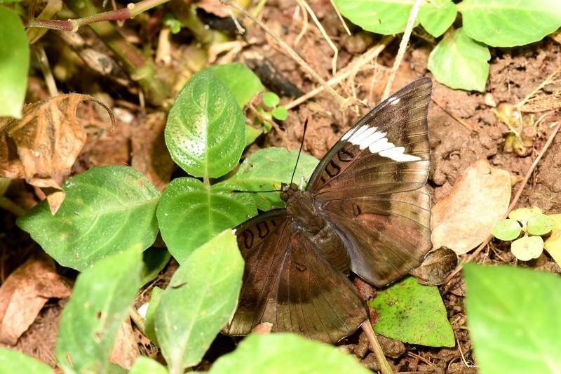 尖翅翠蛺蝶現蹤動物園-雌成蟲。(台北市立動物園提供)