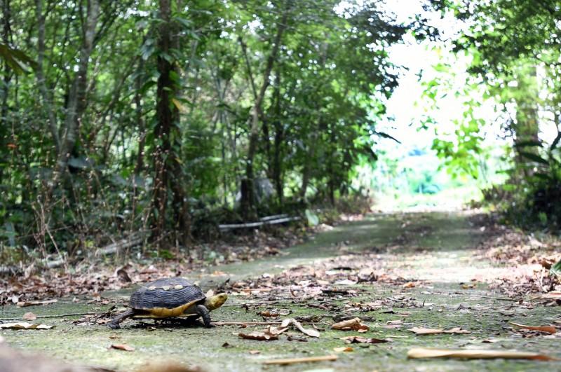 日月光文教基金會攜手中興大學食蛇龜保育團隊,前往南投山區探訪食蛇龜的棲地,為瀕臨絕種的食蛇龜找新生路。(日月光文教基金會提供)