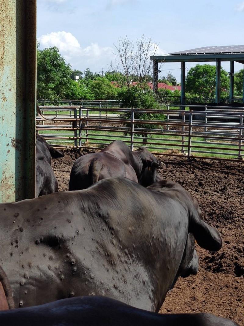 金門爆發牛結節疹,今天又新增疑似病牛。(防檢局提供)
