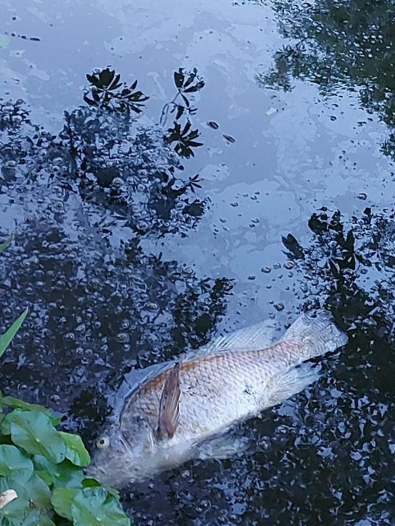 大東公園生態池泛油污造成死魚。(記者陳文嬋翻攝)
