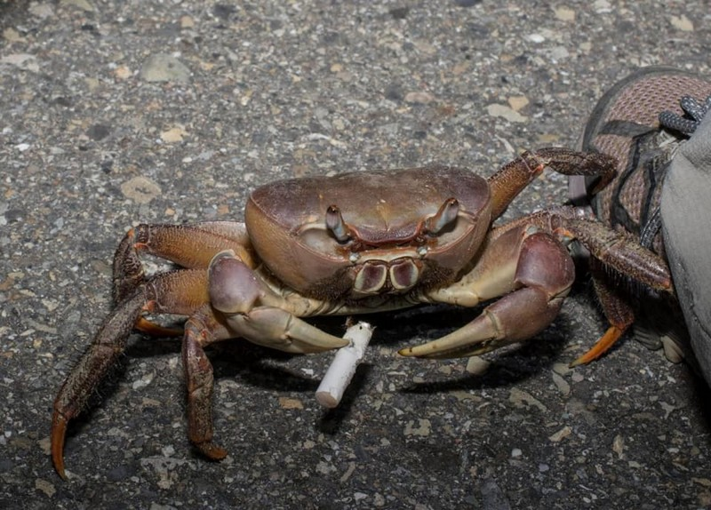 這隻兇狠圓軸蟹竟夾著菸屁股,像是叼著一根香菸似的。王士豪說,看了讓人難過、無奈。(圖由王士豪提供) <h4>☆自由電子報關心您,吸菸有害健康☆</h4>