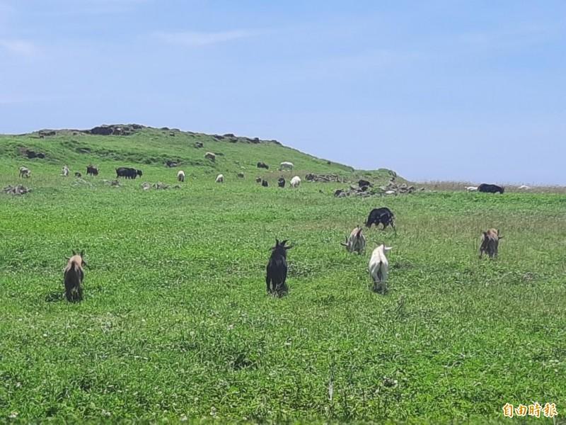 離島羊比人多,在南方四島處處可見。(記者劉禹慶攝)