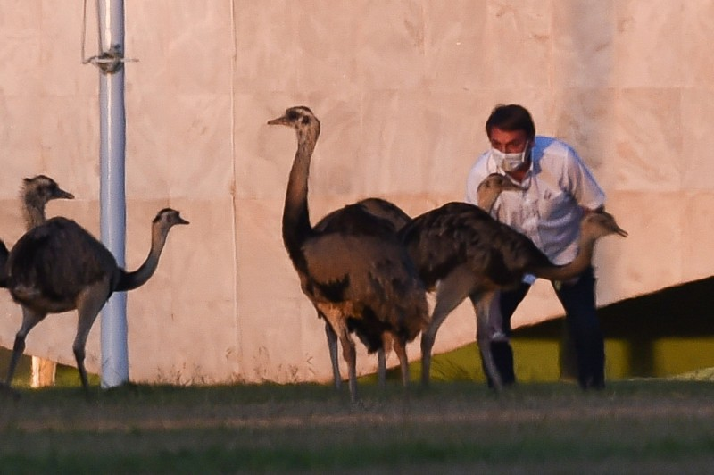 巴西總統波索納洛(Jair Bolsonaro)日前確診武漢肺炎(新型冠狀病毒病,COVID-19),現在正在官邸進行隔離治療。本週一,被隔離的波索納洛在花園散步時,還慘遭鴕鳥啄擊。(法新社)