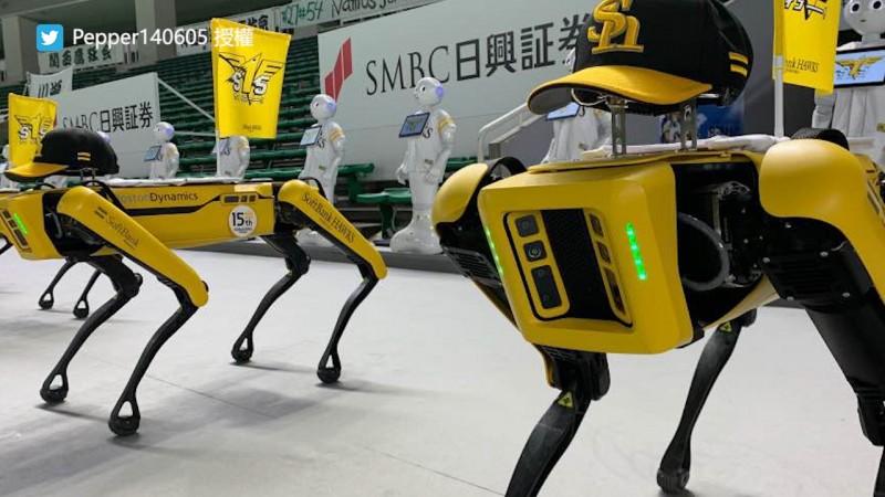 Pepper和Spot身著福岡軟銀鷹隊隊服在球場邊熱舞。(圖片由Twitter帳號Pepper140605授權提供使用)