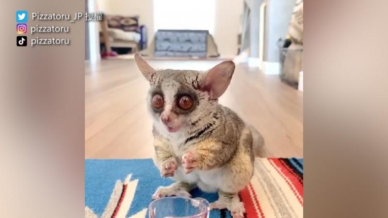 雖然嬰猴長相可愛,但台灣禁止飼養。(圖片由Twitter帳號Pizzatoru_JP授權提供使用)