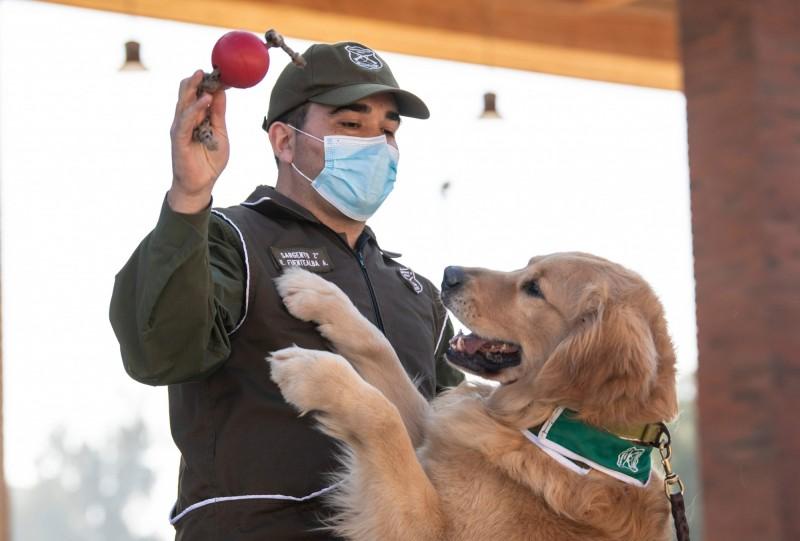 智利政府目前提出一個訓練犬計畫,希望讓狗能透過人的汗水發現潛在的確診者。圖右為其中一隻受訓黃金獵犬克里弗(Clifford)。(法新社)