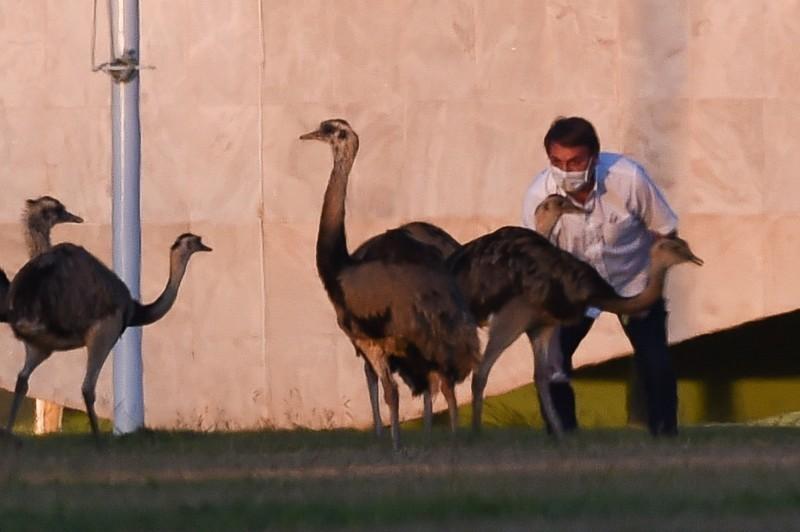 被隔離的波索納洛在花園散步時,遭鴕鳥啄擊。(法新社)