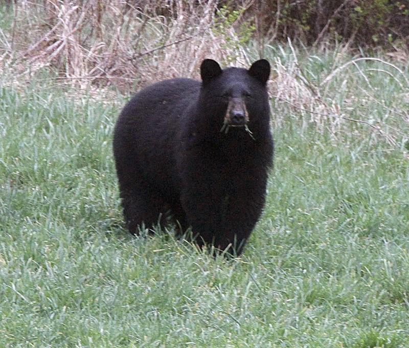 美國科羅拉多州亞斯本市1名父親車諾斯基日前與孩子們待在一起時,突然聽到騷動直覺不妙,走進廚房驚見有隻估計重達400磅的大黑熊正在翻箱倒櫃亂丟東西。圖僅示意,與本文無關。(美聯社)
