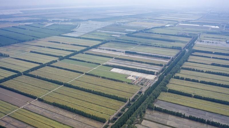 中國各地政府陸續規定農民復耕荒田,種植糧食作物,違者將面臨沒收田地的懲罰,被視為要應對糧食危機。圖為中國上海一處稻田。(彭博)