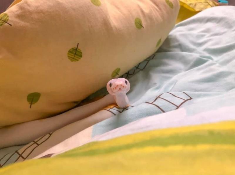 原PO貼出名為「狗狗」的球蟒,看起來非常可愛。(圖擷自爆廢公社)