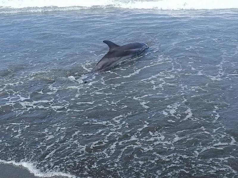 台南四草附近海岸傳出有海豚擱淺,初判是一隻條紋海豚。(成大鯨豚中心提供)