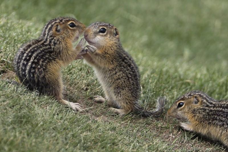 美國新英格蘭地區橡實大豐收,連帶使得花栗鼠數量激增,牠們到處挖洞使得民眾不堪其擾煩到快瘋了。(美聯社)
