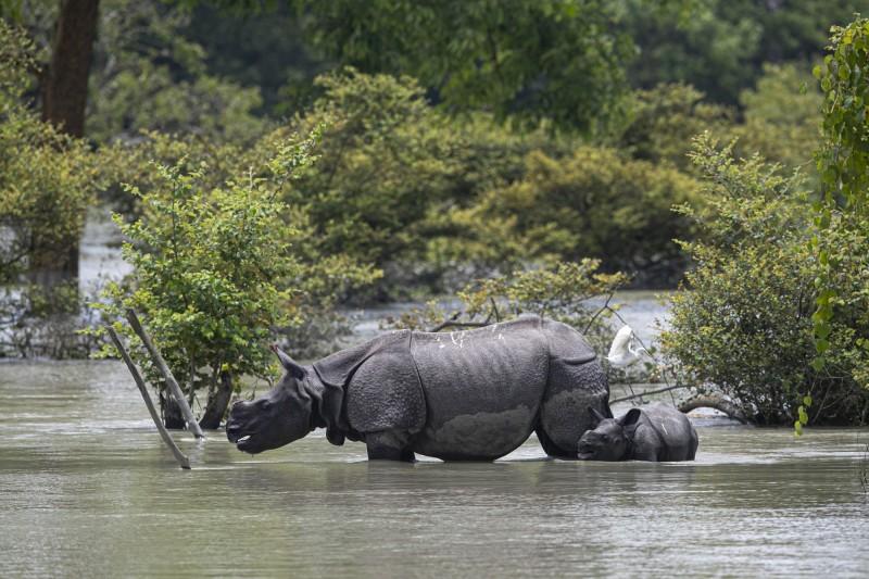 印度阿薩姆邦近期飽受洪災所苦,導致9頭罕見犀牛被淹死。圖為阿薩姆邦Pobitora野生動物保護區的單角犀牛。(美聯社)