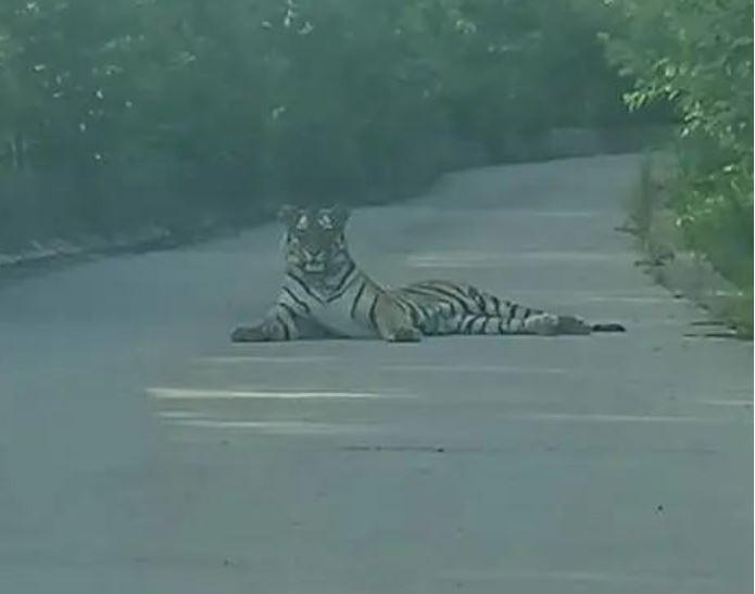 中國吉林近日有司機載著乘客前往風景區,未料行駛在山路上竟遇到一隻東北虎「攔路」,讓他嚇了一大跳,趕緊把車停好深怕會驚動老虎,雙方就這樣「對峙」了15到20分鐘。(圖擷取自微博)