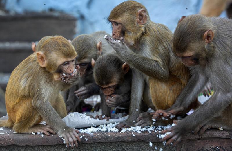 印度沙賈漢普爾(Shahjahanpur)的瓦濟布·凱爾(Wazib Khel)17日發生一起悲劇,一名母親和6個孩子因天氣炎熱,晚上便睡在自家院子,未料牆壁卻被猴群推倒,導致母親和4名小孩不幸身亡。示意圖,非當事猴群。(美聯社)